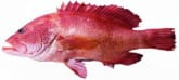 Red Grouper Small